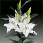 lilium_oriental_blanco